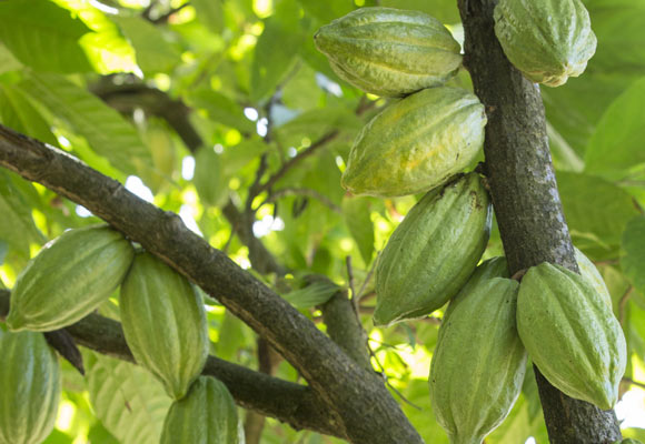 Cocoa pods on trees